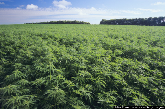 Commercial hemp, Darlingford, Manitoba, Canada.